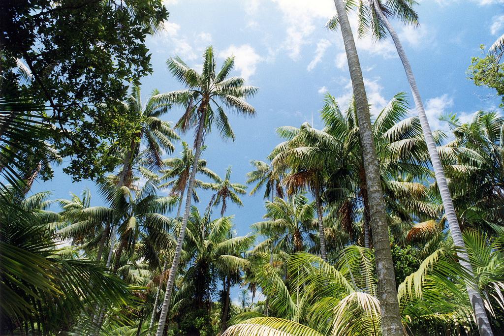 las palmowy (Kentia); autor zdjęcia: David Morgan-Mar
