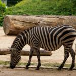 Niemcy, Berlin Zoo; autor zdjęcia: http://www.flickr.com/photos/volt2011/7537071480/