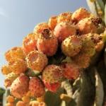 Malta: drzewko kaktusowe na Gozo