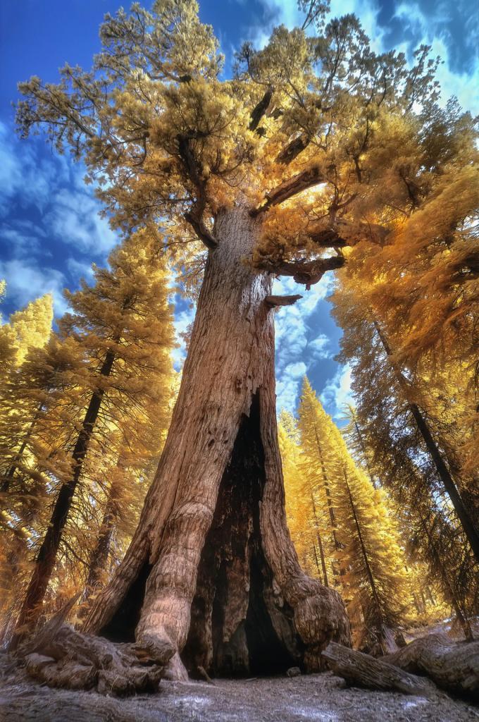 Park Narodowy Yosemite, Grizzly Giant - gigantyczna sekwoja. Autor zdjęcia: Christian Ortiz
