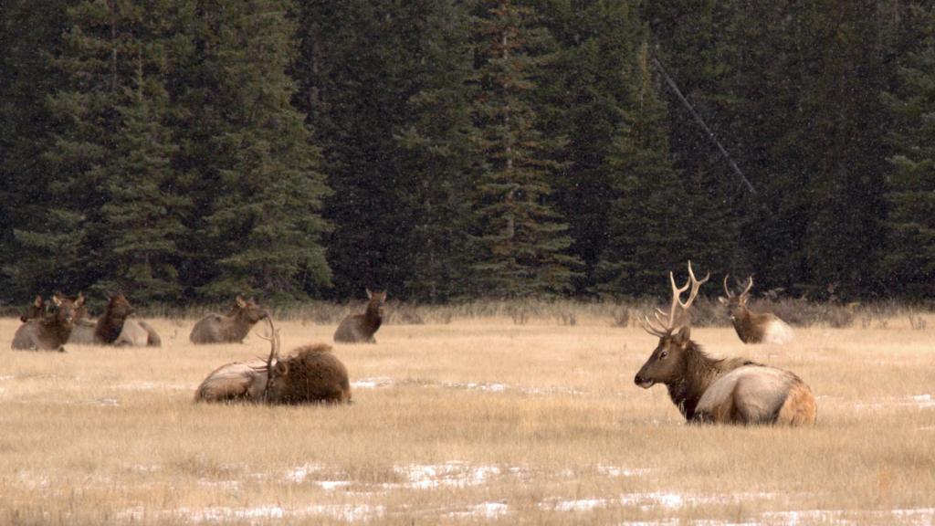 Park Narodowy Banff: stado wapiti. Źródło zdjęcia: https://www.flickr.com/photos/sangudo/4130417122