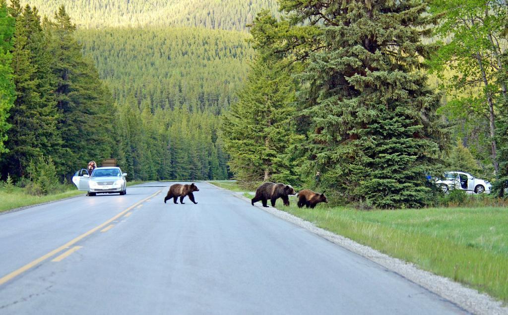 Park Narodowy Banff: niedziedzie Grizli. Źródło zdjęcia: https://www.flickr.com/photos/matlacha/12393225703