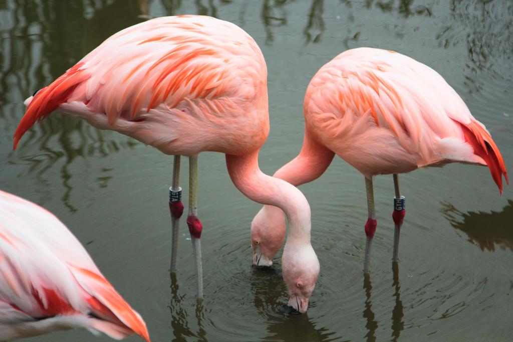 Poznań, Nowe Zoo. Czerwonaki, zwane flamingami.