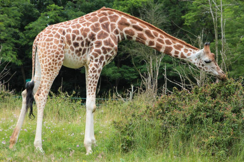 Poznań, Nowe Zoo. Żyrafa.