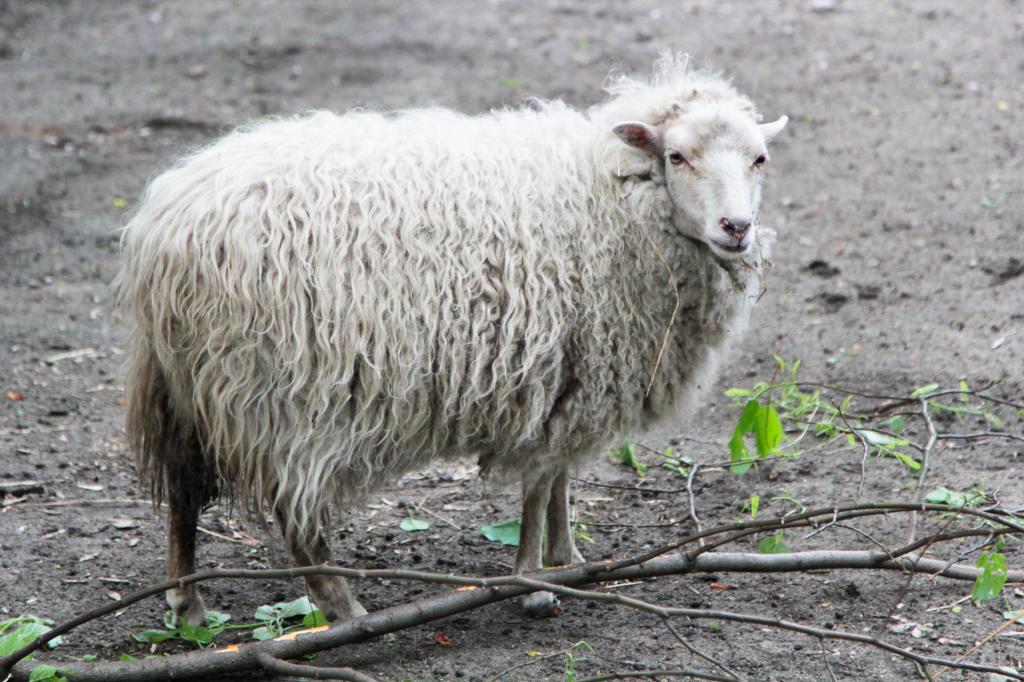 Stare Zoo w Poznaniu - owieczka