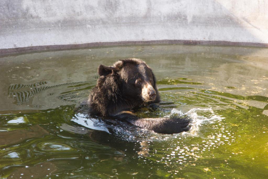 Kąpiel niedźwiedzia himalajskiego