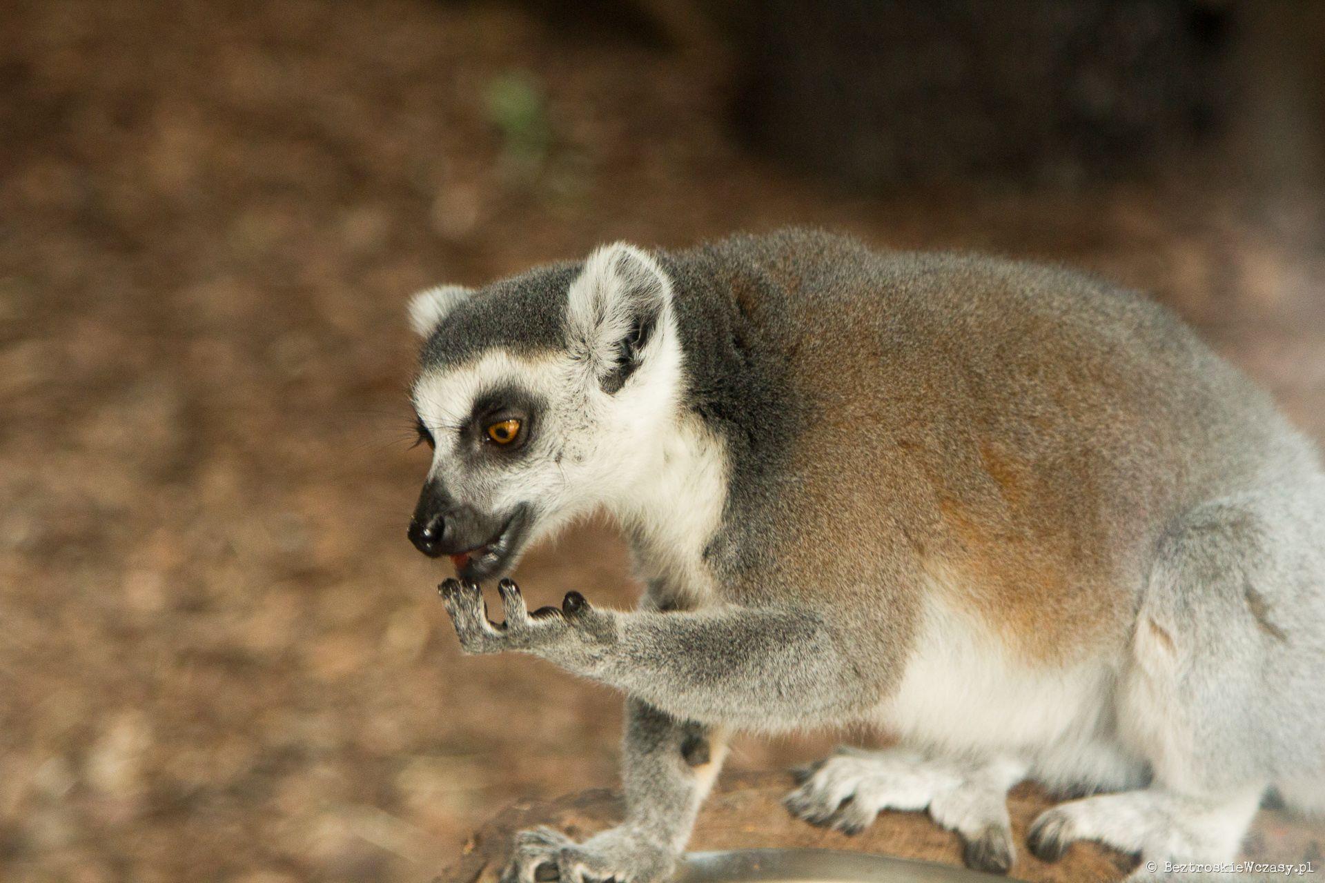 Lemur wari