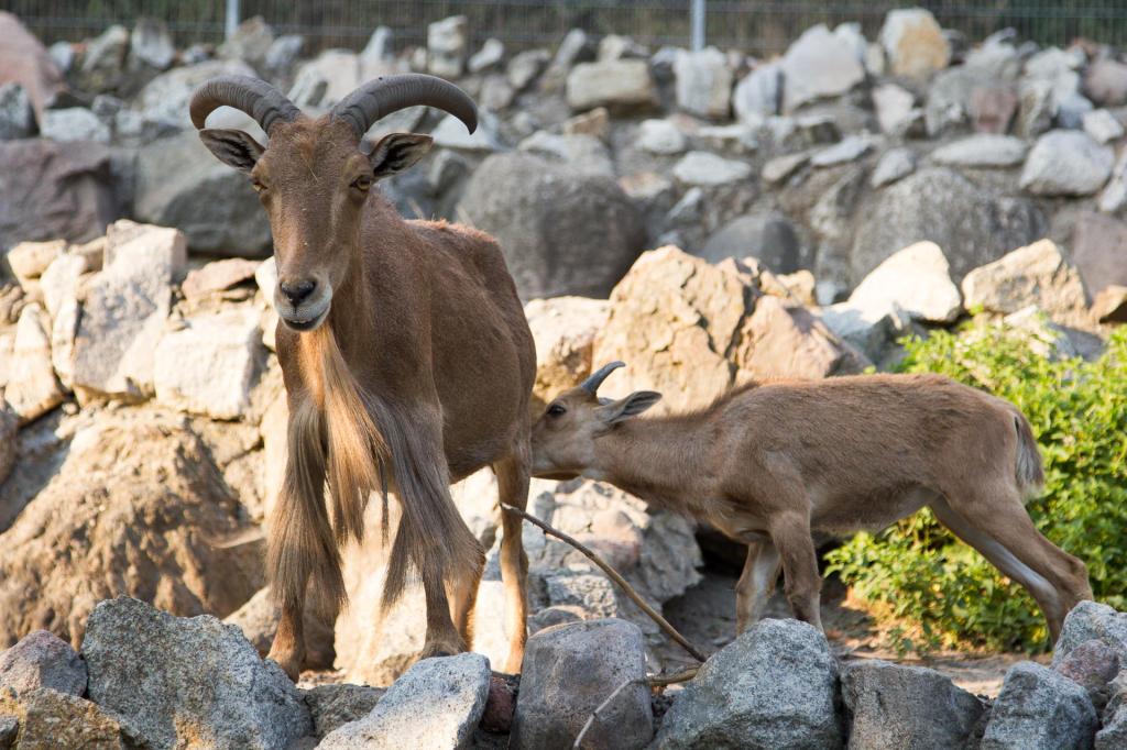 Owce grzywiaste - Arui