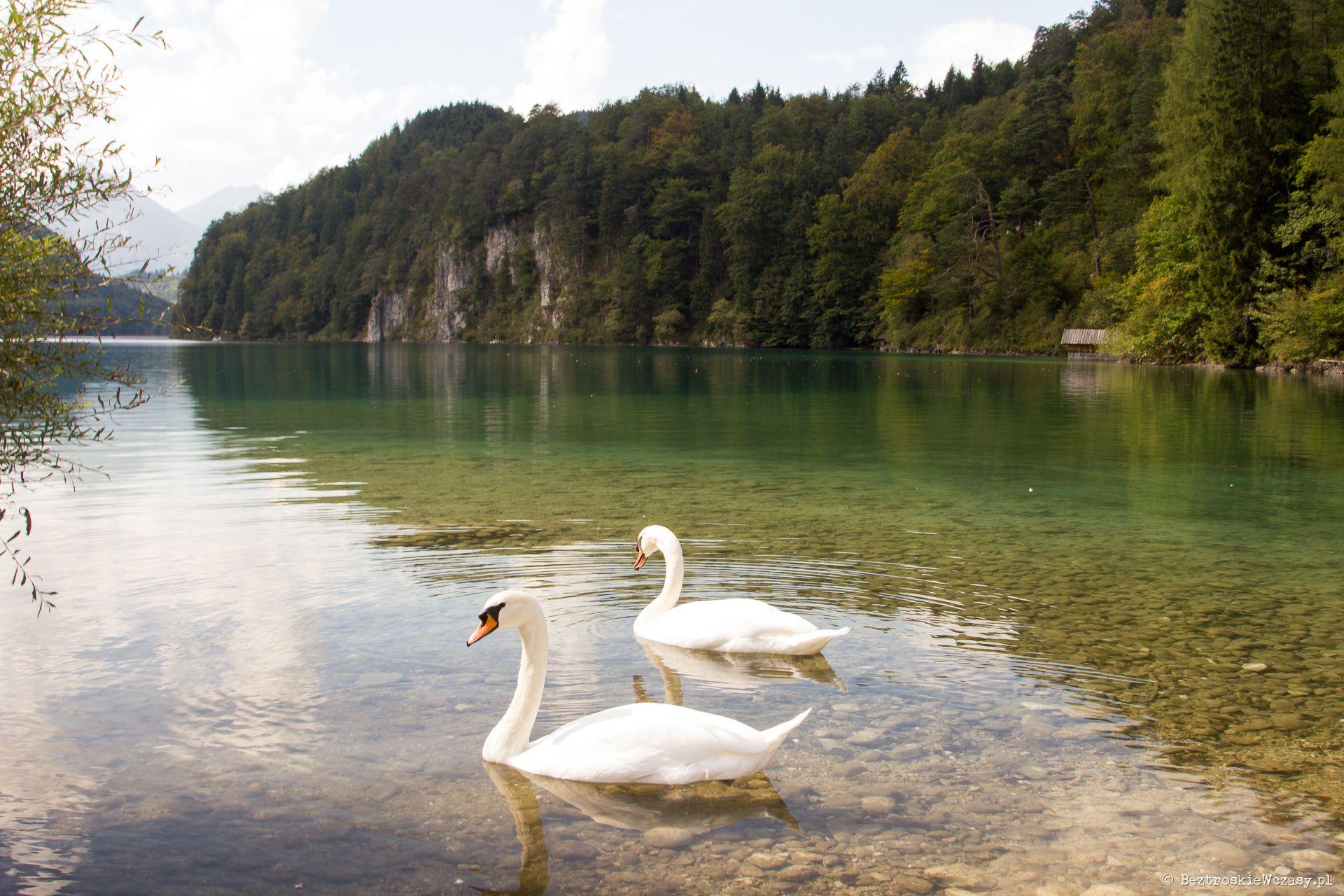 Niemcy: łabędzie na jeziorze Alpsee