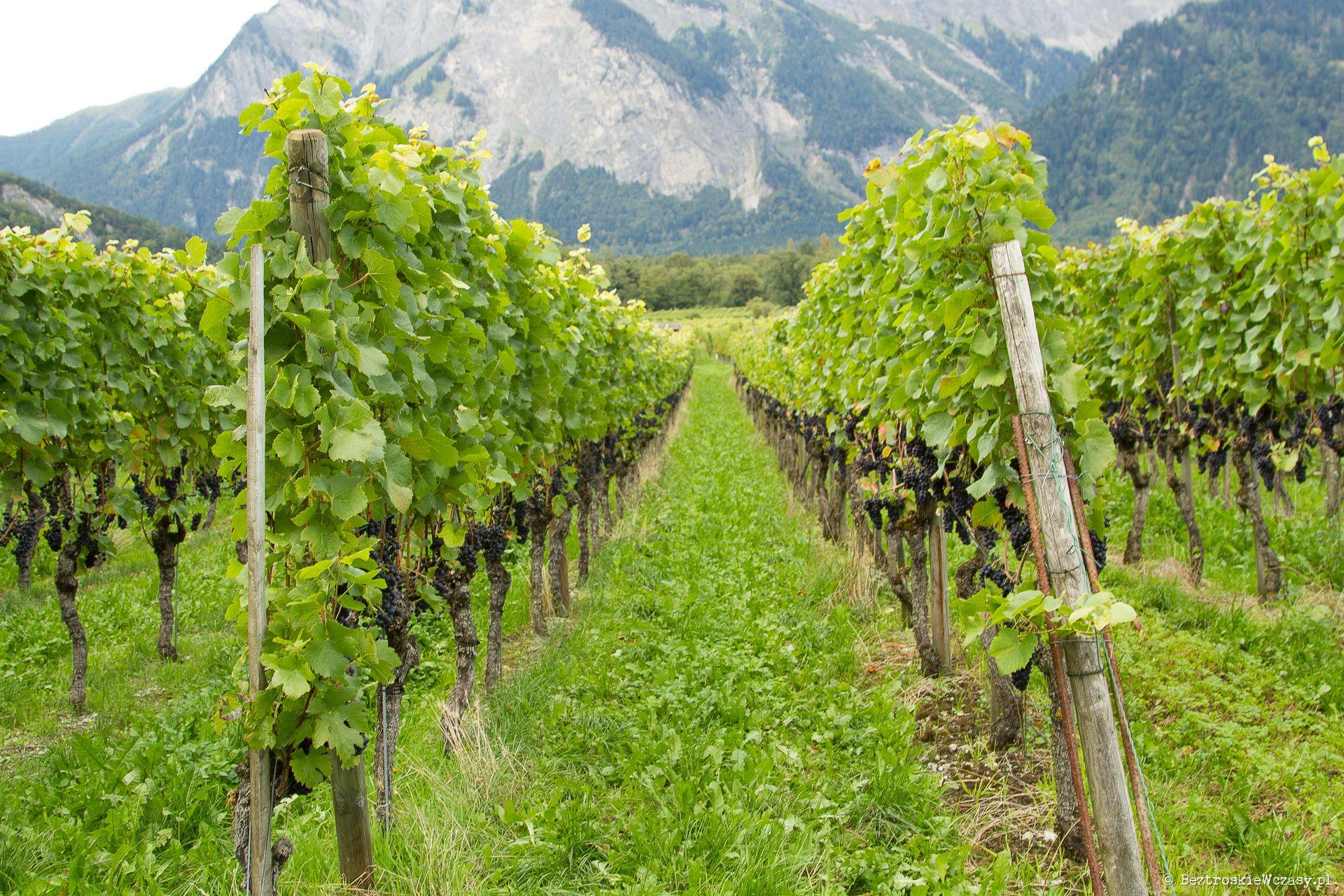 Szwajcaria: pola winne w Maienfeld