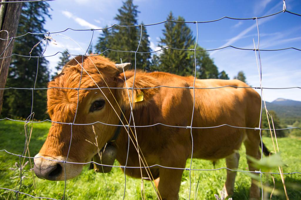 Niemcy: Bawaria. Przydomowa hodowla krów