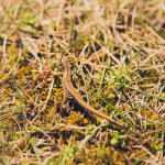 Woliński Park Narodowy: jaszczurka zwinka (?)