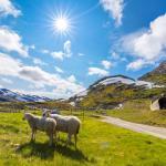 Rallarvegen - owce na trasie