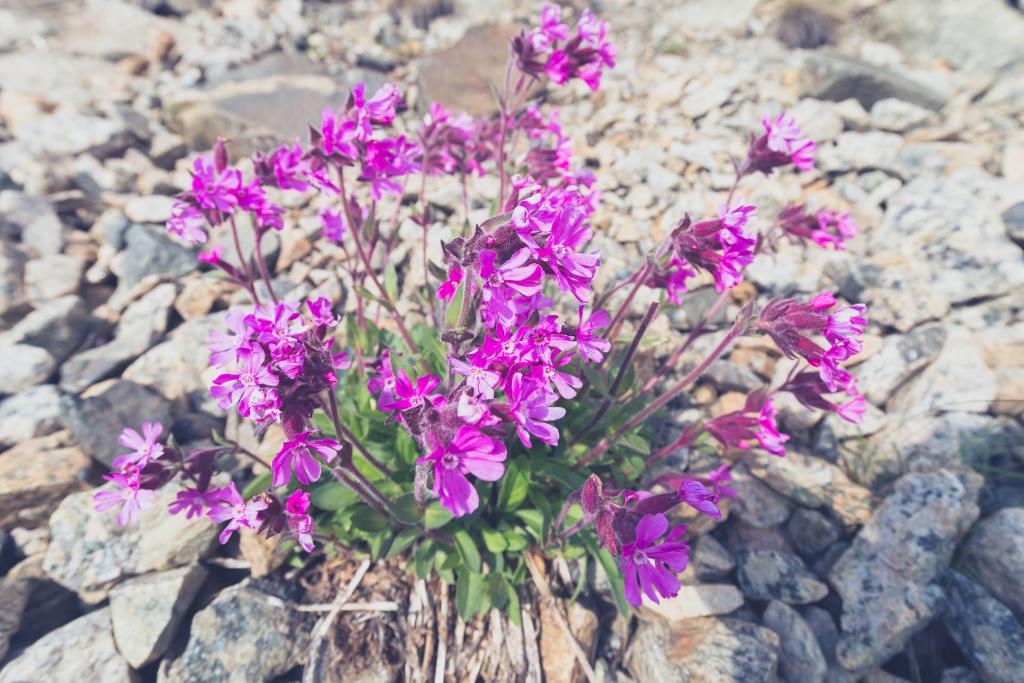 Rallarvegen - przydrożna roślinność