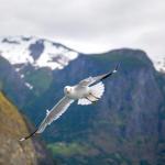 Nærøyfjord: Żerujące na turystach ptaki